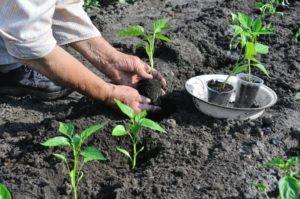 Как правильно вырастить перец. Как вырастить рассаду перца из семян. Лучшие сорта перца для открытого грунта. Высадка перца в открытый грунт