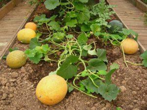 Выращивание дыни в открытом грунте: сорта, особенности посадки и тонкости ухода