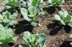 Как выращивать капусту в открытом грунте. Как выращивать рассаду капусты в домашних условиях. Лучшие сорта капусты для открытого грунта