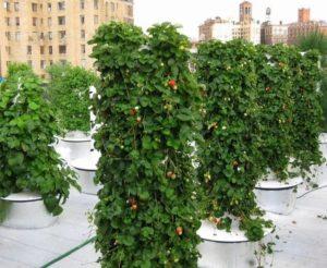 Клубника вьющаяся: выращивание на вертикальных грядках