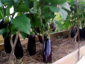Как вырастить баклажаны в открытом грунте. Как вырастить рассаду баклажанов в домашних условиях. Лучшие сорта баклажанов для открытого грунта