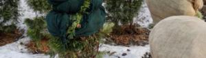 Туя зимой: способы и рекомендации укрытия